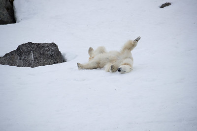 Still given the opportunity, even polar bears can have fun in the snow