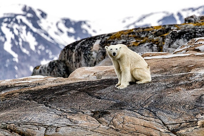 A polar bear evaluates whether we are friend, foe or food as we approach - not too close