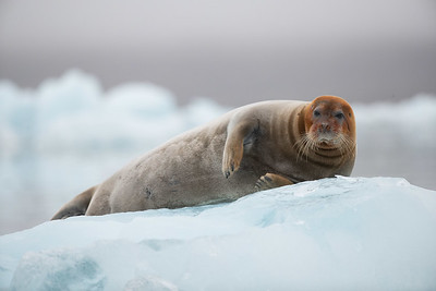 A bearded seal resting on the glacial ice watching us get closer