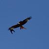 Jackdaws harassing red kite