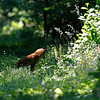 Red fox spotted prey