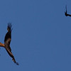 Jackdaws harassing red kite