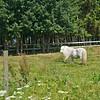 Countryside pony near Tomelilla