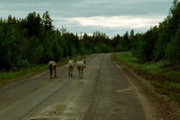 Reindeer in Road - Lapland, Finland