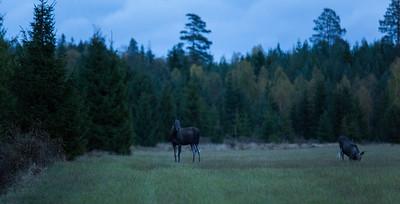 Moose/Elk