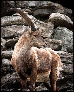 Ibex at wildlife park