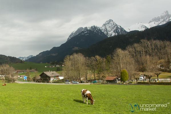 Alpine Cow - Chateau d'Oex, Switzerland