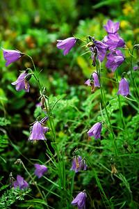Wildflowers alongside the trail from Schwarzsee to Zermatt