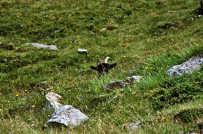 A goat alongside the trail from Gornergrat to Zermatt
