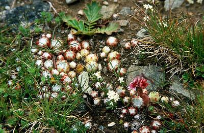 Trail from Gornergrat to Zermatt - wildflowers