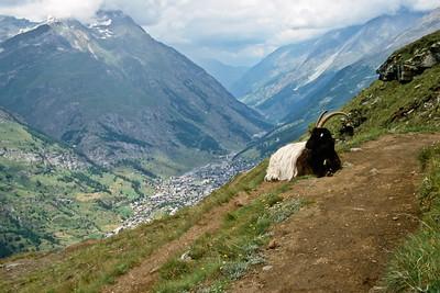 Goat alongside trail above Zermatt