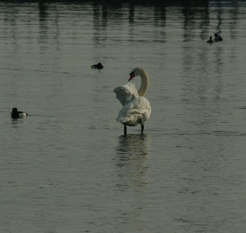 Swan on Lake Zurich