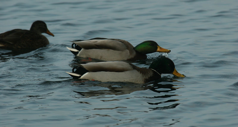 Mallard ducks on the Zurichsee