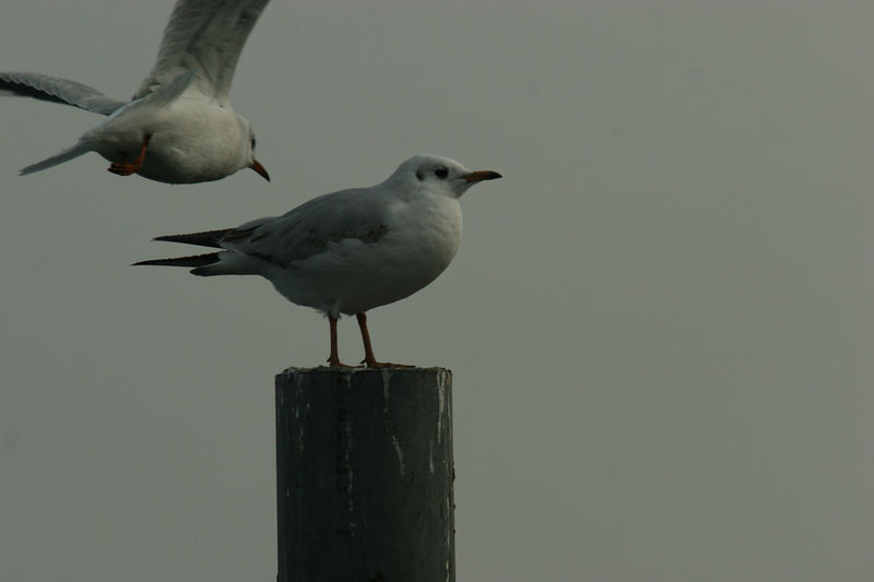 Sturmmowe, Common Gull, Lake Zurich