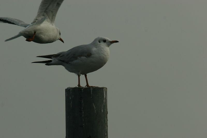 Sturmmowe, Common Gull, Lake Zurich