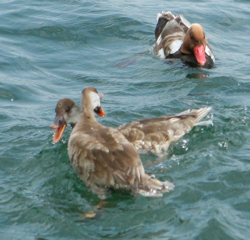 Duck wrestling