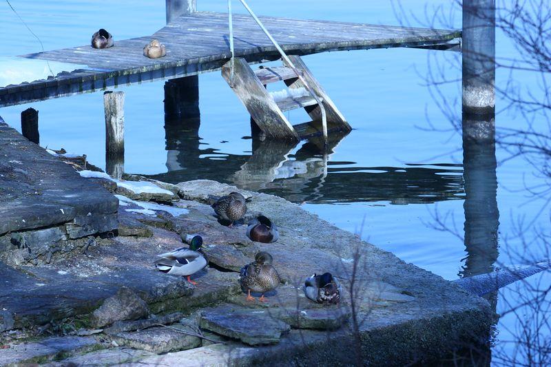 Ducks in repose