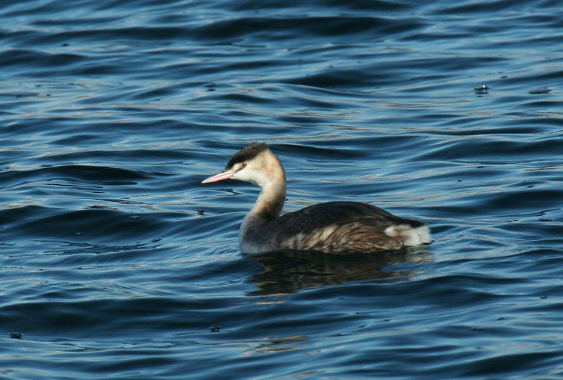 Haubentaucher / Great Crested Grebe in winter