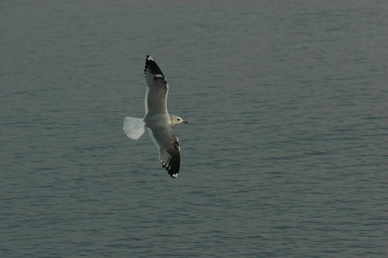 Sturmmowe, Common Gull