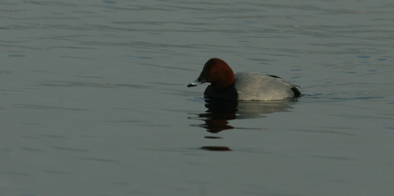 Male pochard duck - a stocky diving duck, smaller than a mallard. In German, tafelente.