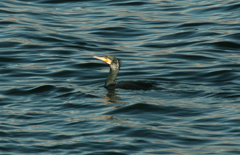 Same probable cormorant