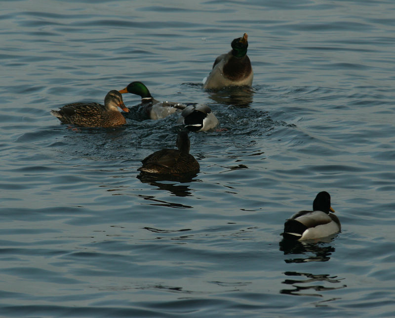 Mallard ducks on Lake Zurich