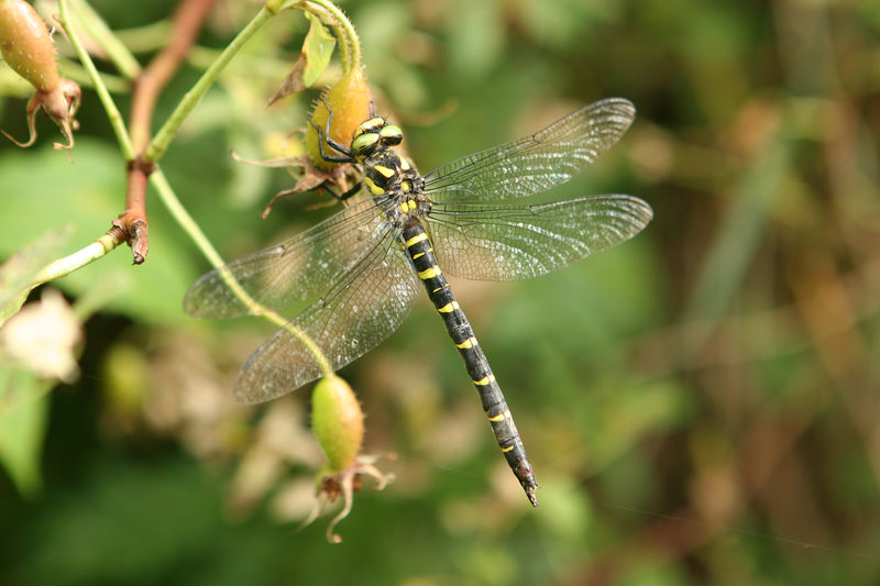 Dragonfly in Gstaad