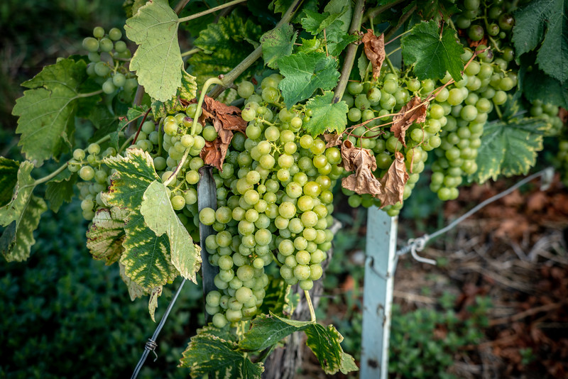 The Chasselas grape grown by most vineyards in Lavaux, Switzerland