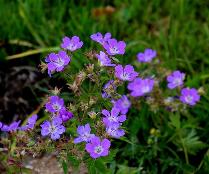 Switzerland, Rougement & Swiss Alps, Alpine blooms