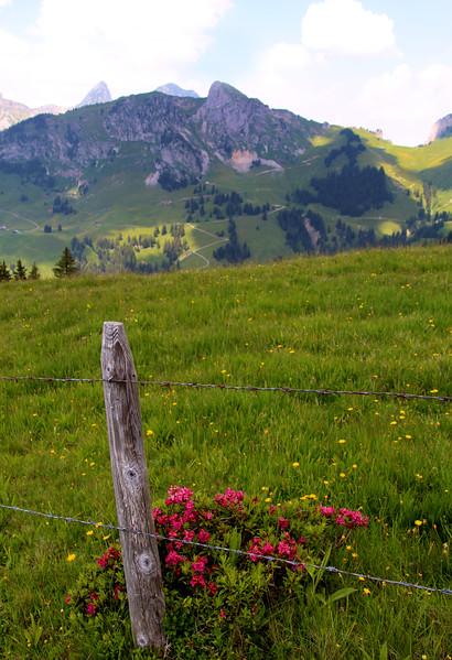 Switzerland, Rougement & Swiss Alps, Alpine Rhododendrum