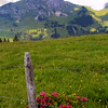 Switzerland, Rougement & Swiss Alps, Alpine Rhododendrum