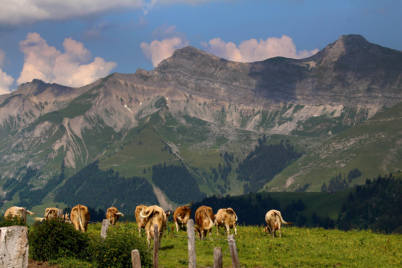 Switzerland, Pays-d'Enhaut, Cows in Pasture