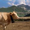 Switzerland, Pays-d'Enhaut, Cow in Rodomond Pasture