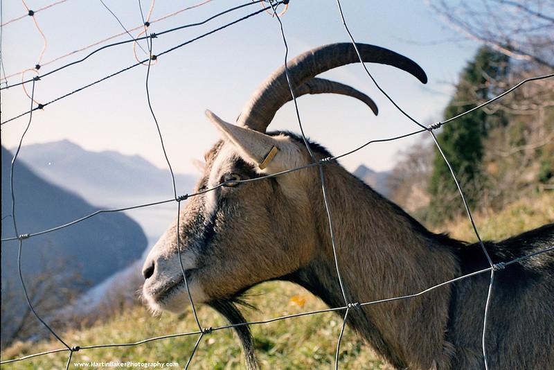 Goat, Mount Bré, Lugano, Ticino, Switzerland.