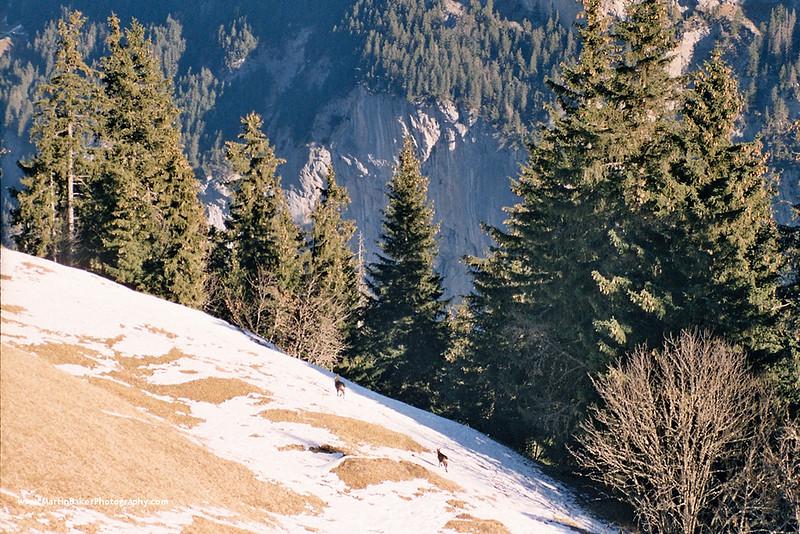 Chamois, Mürren, Lauterbrunnen Valley, Bernese Oberland, Switzerland.