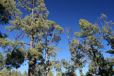 Pine forests near Teide NP