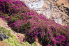 Bougainvilla. Tenerife, Canary Islands