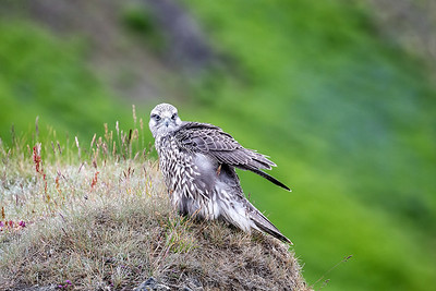 Gyr falcons are widespread in  Iceland if one knows where to look and relatively unafraid of people (protected of course).