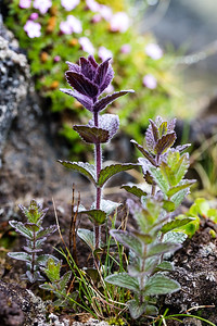 Another pretty flower nestled in a corner of a lava field full of sharp pointed rocks