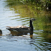 Canada Goose with babies