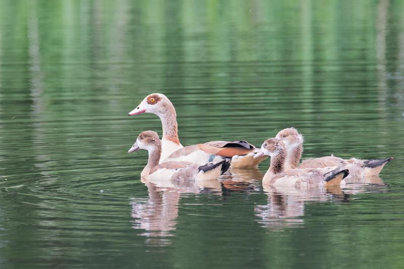 Family of Egyptian Goose