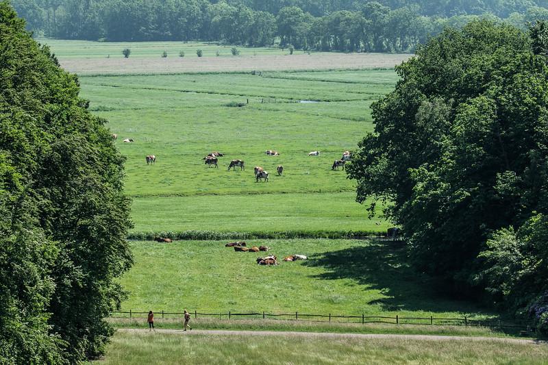 Happy Dutch cows