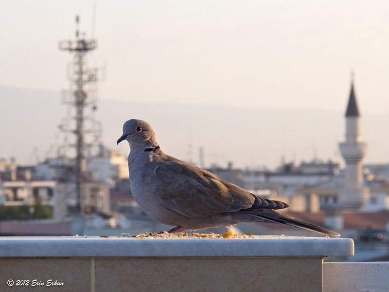 A Eurasian Collared Dove comes to have breakfast on mom's terrace.<br /> 4 Oct 2012