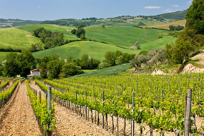 Vineyard near Montepulciano