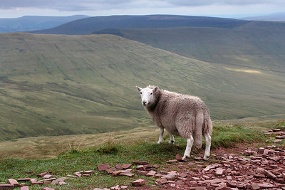 Sheep along the trail to Pen y Fan