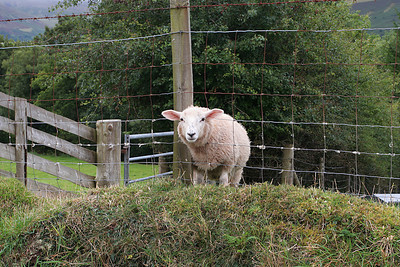 Sheep stuck in fence