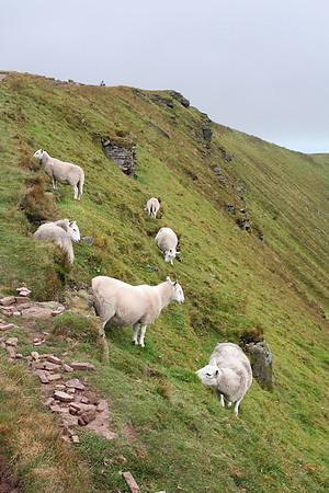 Sheep along the trail to Pen y Fan