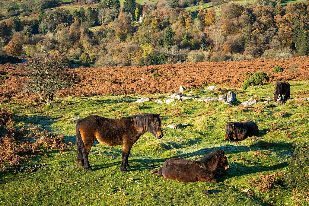 Dartmoor Pony Group
