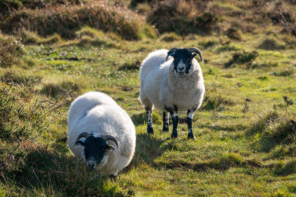 Sheep in Dartmoor