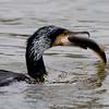 Phalacrocorax carbo; Kormoran; Great Cormorant; Grand Cormoran; Aalscholver